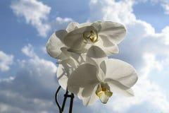 Espray blanco de la orquídea - fondo del cielo azul y de nubes Fotos de archivo
