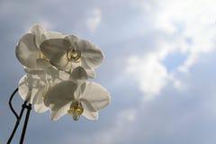 Espray blanco de la orquídea - fondo del cielo azul y de nubes Imagenes de archivo