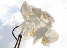 Espray blanco de la orquídea - fondo del cielo azul y de nubes Fotografía de archivo libre de regalías