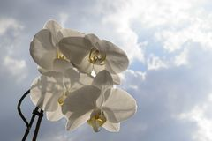 Espray de la orquídea de Hite - fondo del cielo azul y de nubes Foto de archivo