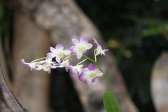 Espray delicado de las orquídeas azules y blancas del tono dos Imagenes de archivo