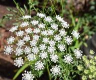 Espray floral blanco en el parque del balboa en San Diego, California Fotos de archivo libres de regalías