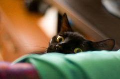 Espreitando o gato preto Fotografia de Stock Royalty Free