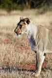 Espreitando o leão Imagens de Stock Royalty Free