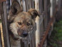 Espreitar do cão Fotografia de Stock