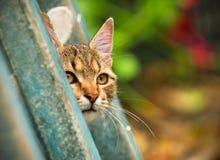 Espreitar do gato Imagens de Stock