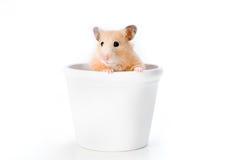 Espreitar do hamster Imagem de Stock
