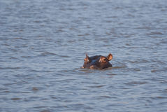 Espreitar do hipopótamo Foto de Stock
