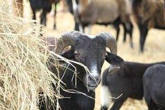 Espreite Boo Sheep fotos de stock royalty free