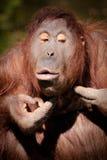 Espremendo pimples Foto de Stock Royalty Free