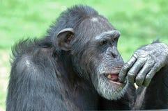 Espressione dello scimpanzé. Immagine Stock