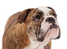 Espressione seria del primo piano inglese del bulldog Fotografia Stock Libera da Diritti