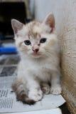Espressione sveglia del gattino Immagine Stock