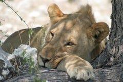 Esprit africain (Etosha NP, Namibie) Photographie stock