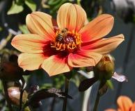 Esprit 1 d'abeille et de fleur Photographie stock