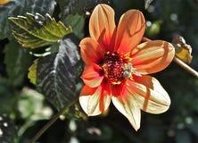 Esprit 8 d'abeille et de fleur Photo stock