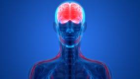 Esprit humain avec l'anatomie de système nerveux illustration libre de droits