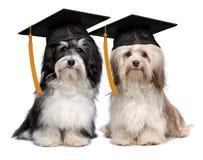 Espritkappe zwei der hervorragenden Staffelung havanese Hunde Lizenzfreies Stockfoto