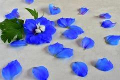 Espuela de caballero azul y poca blanca fotografía de archivo libre de regalías