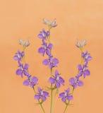 Espuelas de caballero púrpuras delicadas Imágenes de archivo libres de regalías