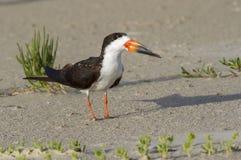Espumadeira preta (Rynchops niger) na praia imagem de stock