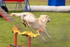 Esquadrão do cão do salvamento Foto de Stock