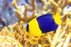 Esquatina bicolor Imagem de Stock