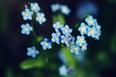 Esqueça-me não as flores feitas com filtros de cor Sof imagem de stock