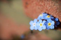 Esqueça-me não as flores feitas com filtros de cor Sof foto de stock