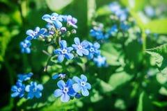 Esqueça-me não flores Foto de Stock