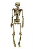 Esqueleto Imagem de Stock Royalty Free