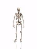 Esqueleto. Imágenes de archivo libres de regalías