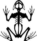 Esqueleto 2 de la rana Foto de archivo libre de regalías