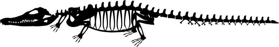 Esqueleto 3 del cocodrilo Fotografía de archivo libre de regalías