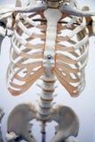 Esqueleto adulto foto de stock royalty free
