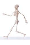 Esqueleto aislado Foto de archivo libre de regalías