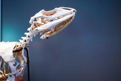 Esqueleto animal desconocido Fotos de archivo libres de regalías