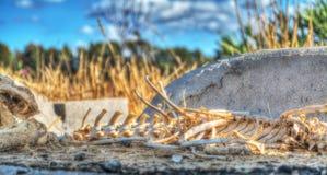 Esqueleto animal en el campo Fotografía de archivo libre de regalías