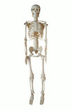 Esqueleto artificial imagen de archivo libre de regalías