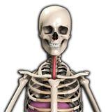 Esqueleto con el tubo del viento Foto de archivo libre de regalías