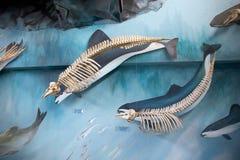 Esqueleto con gafas de la masopa en el museo en Estancia Harberton en Tierra del Fuego, Patagonia, la Argentina fotografía de archivo libre de regalías