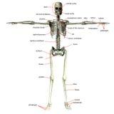 Esqueleto con nombres del hueso Fotografía de archivo libre de regalías
