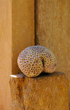 Esqueleto coral Fotografia de Stock Royalty Free