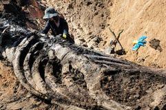 Esqueleto da baleia Fotografia de Stock Royalty Free