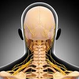 Esqueleto da cabeça humana e sistema nervoso Fotografia de Stock