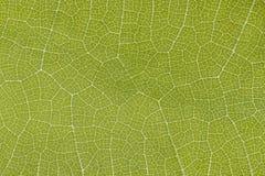 Esqueleto da folha da uva em um gleam foto de stock royalty free