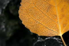 Esqueleto da folha de Aspen Foto de Stock