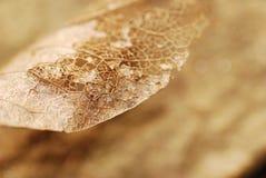 Esqueleto da folha secada foto de stock