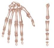 Esqueleto da mão Fotografia de Stock