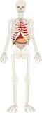 Esqueleto da pessoa com um interno ilustração do vetor